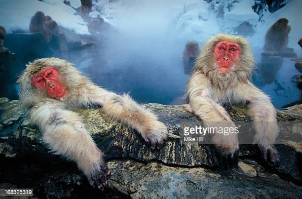 Japanese snow monkeys at hot pool