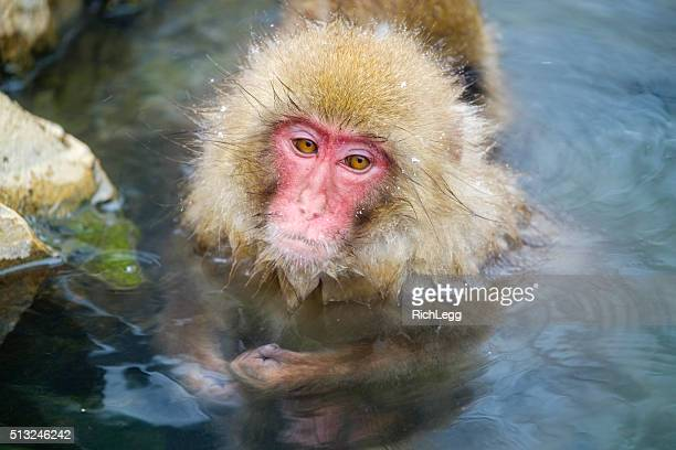 Japanese Snow Monkeys Bathing in the Wild