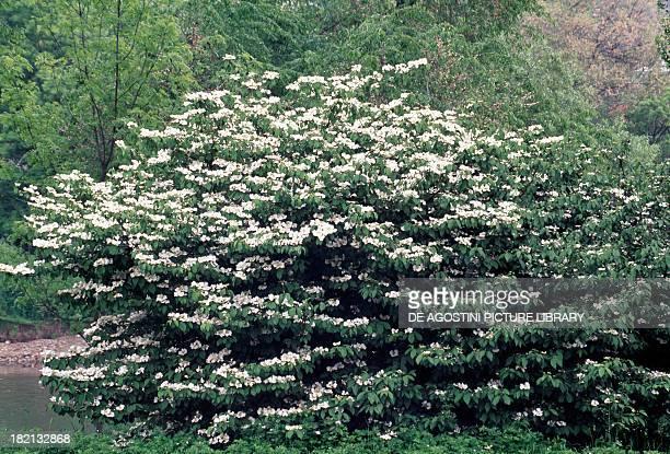 Japanese Snowball Caprifoliaceae