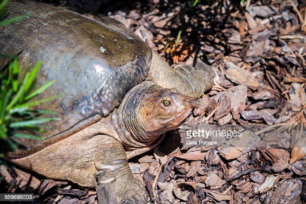 Japanese soft shelled turtle