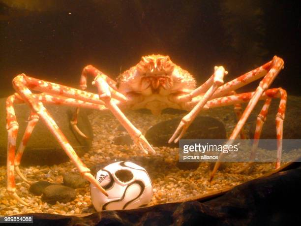 A Japanese Spider Crab is playing football with a miniature ball at large aquarium at the Sea Life in Berlin on Tuesday June 13th 2006 The ball is...