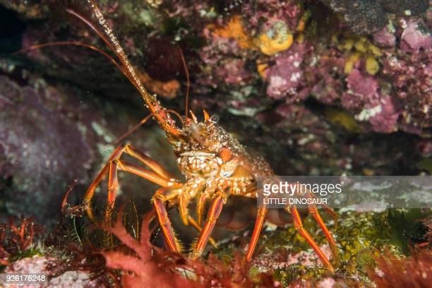 japanese spiny lobster (panulirus japonicus) - 三重県伊勢市 ストックフォトと画像