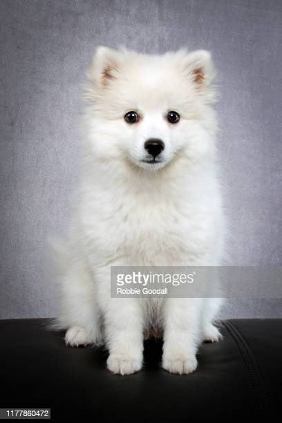 japanese spitz puppy looking at the camera on a gray background - japanese spitz stock pictures, royalty-free photos & images