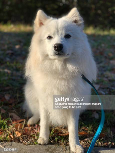 japanese spitz puppy - japanese spitz stock pictures, royalty-free photos & images