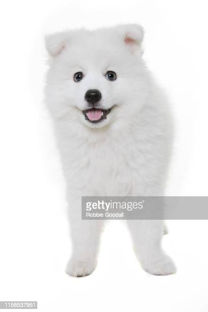 japanese spitz puppy standing on a white backdrop - japanese spitz stock pictures, royalty-free photos & images