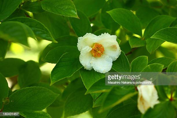 Japanese Stewartia Flowers