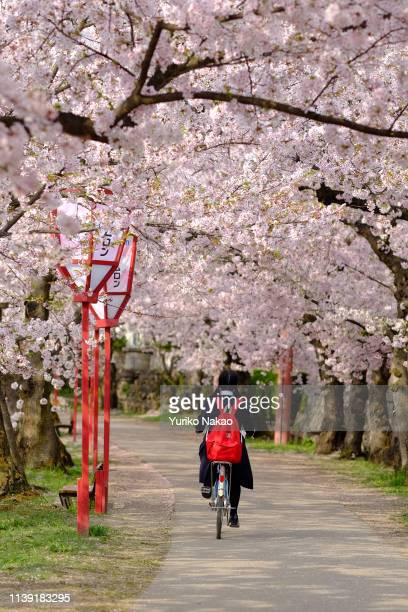 Japanese student in a uniform cycles under cherry blossoms in full bloom during Hirosaki Cherry Blossom Festival at Hirosaki Park in Hirosaki Aomori...