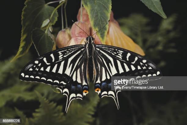 A Japanese Swallowtail 1979