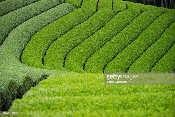 japanese tea field plantation in uji, kyoto pref - uji kyoto stock pictures, royalty-free photos & images
