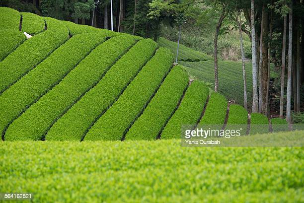 japanese tea field plantation in uji, kyoto pref. - uji kyoto stock pictures, royalty-free photos & images