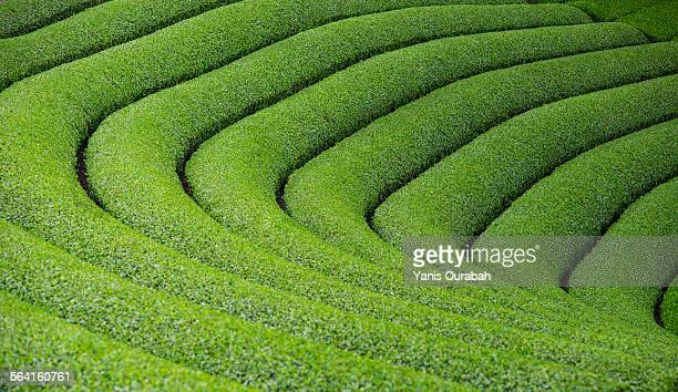 japanese tea plantation in uji, kyoto - uji kyoto stock pictures, royalty-free photos & images