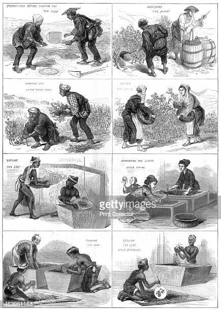Japanese tea production 1874 Preparations before sowing the tea seed manuring the plant planting out in the third year picking the leaves sifting the...