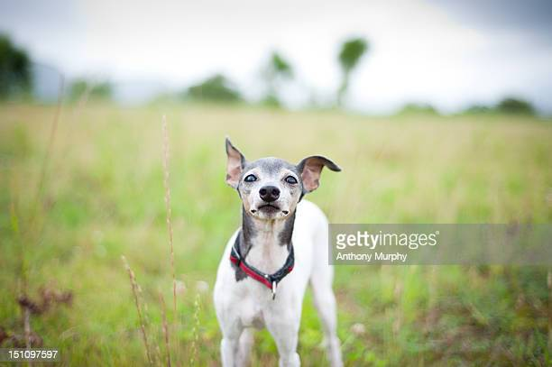 japanese terrier - terrier stock pictures, royalty-free photos & images
