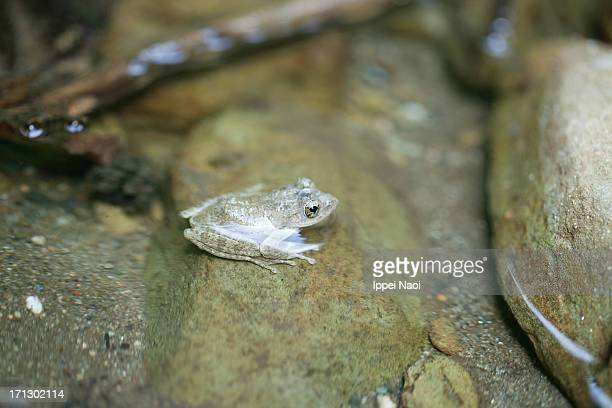 japanese tree frog in clear water - ippei naoi stock photos and pictures