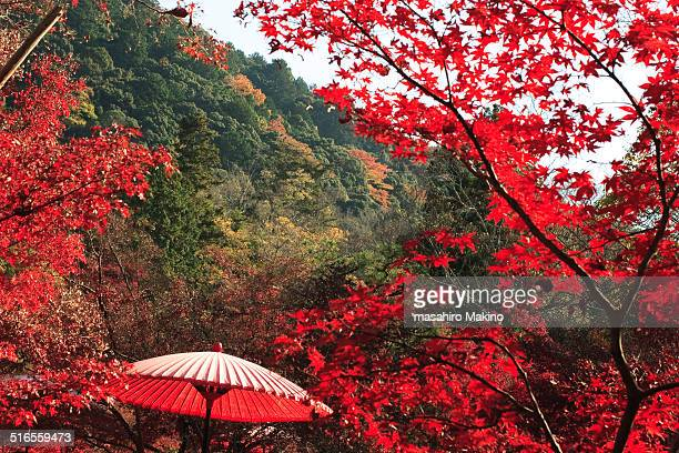 Japanese umbrella in Autumn maple trees