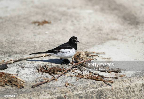 japanese wagtail - purbella stock photos and pictures