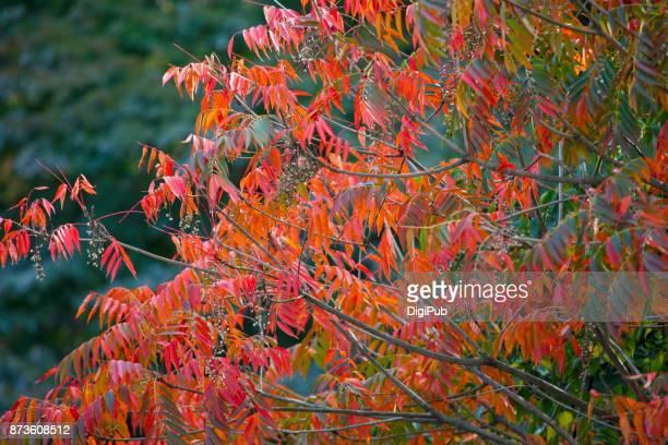Japanese wax tree in autumn