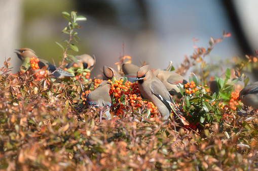 A Japanese Waxwing and a Bohemian Waxwing - gettyimageskorea