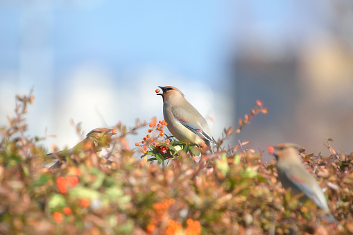 A Japanese Waxwing - gettyimageskorea