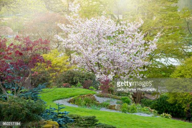 japanese white and pink cherry blossom tree in the spring sunshine - fruit tree stock pictures, royalty-free photos & images