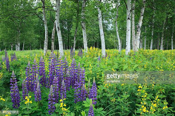 Japanese White Birch and lupine, Hokkaido Prefecture, Japan