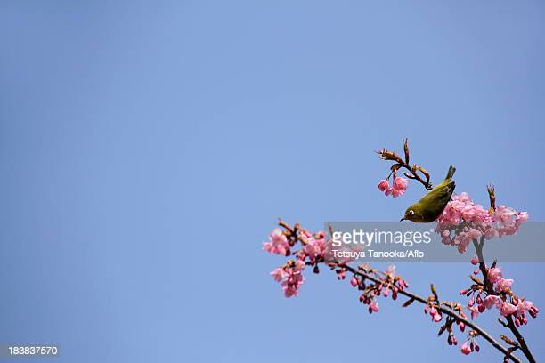 Japanese White Eye and cherry blossoms