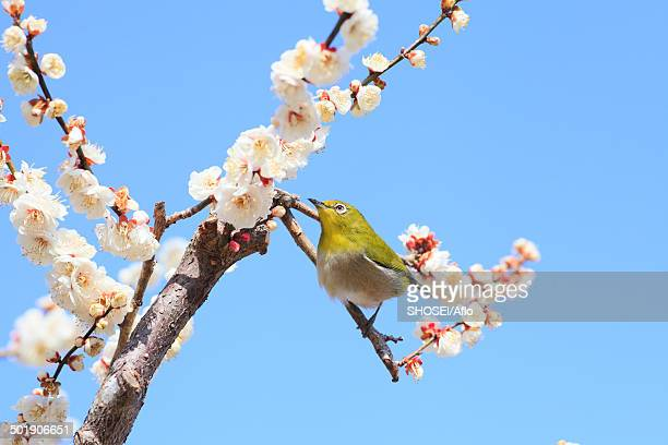 japanese white eye and plum blossoms - march month stock photos and pictures