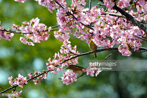 Japanese white eyes on the branch of a bloomed cherry blossom near the Kukurigawa River on March 7 2016 in Hita Oita Japan