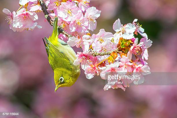 Japanese White-Eye (Zosterops japonicus) among Cherry Blossoms in Japan