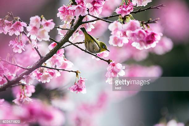 Japanese white-eye and cherry blossoms