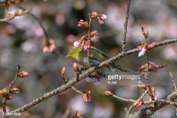 Japanese white-eye and Prunus kanzakura