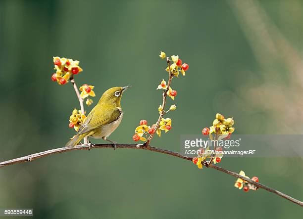 japanese white-eye perching on bittersweet berry vine. yokohama, kanagawa prefecture, japan - bittersweet berry stock photos and pictures