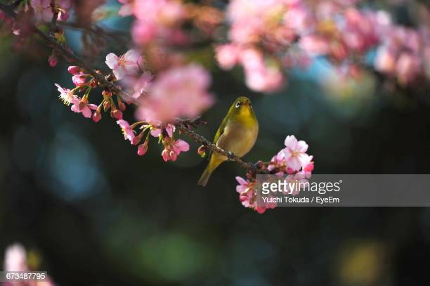 Japanese White-Eye Perching On Branch Of Cherry Tree