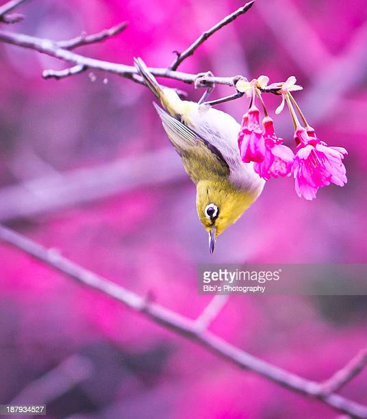Japanese white-eyes and cheery blossom