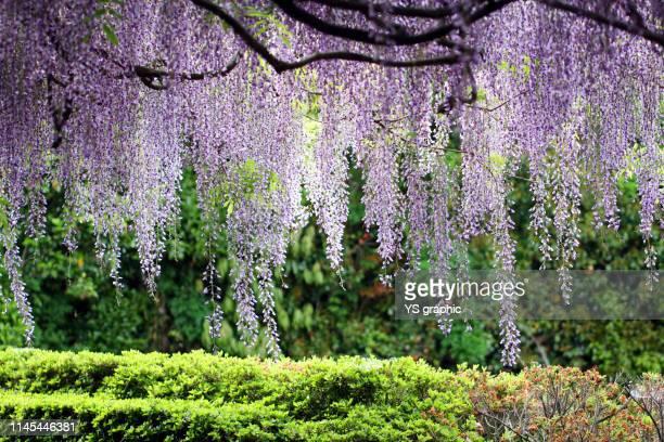 japanese wisteria flower curtain - 鳥取県 無人 ストックフォトと画像