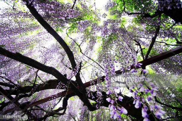 japanese wisteria flower - glicine foto e immagini stock