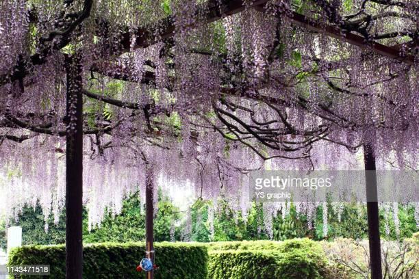 japanese wisteria flower - 鳥取県 無人 ストックフォトと画像