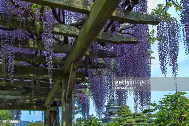 japanese wisteria (wisteria floribunda) hanging from trellis, nagano, chubu, honshu, japan - miyamoto y ストックフォトと画像