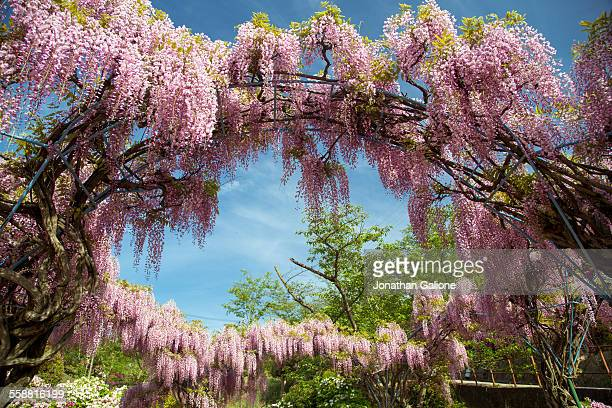 japanese wisteria tree - glycine photos et images de collection