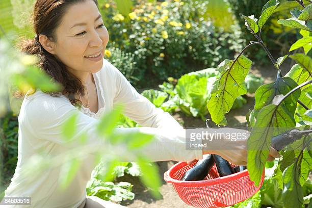 Japanese woman harvesting eggplant at garden
