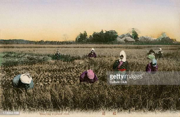Japanese workers harvesting rice autumn late Meiji Era