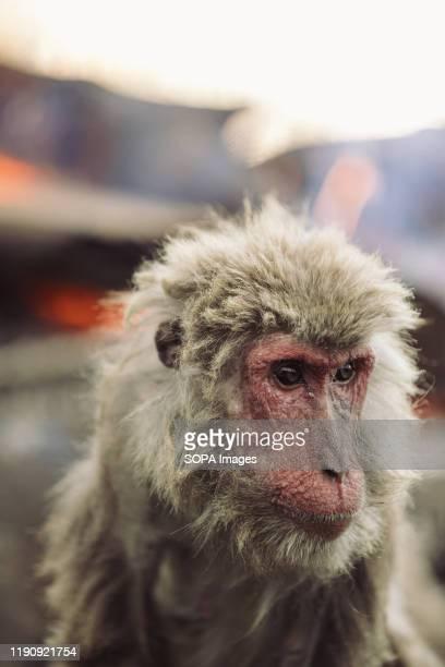 Japanese Yaku macaque monkey at Japan Monkey Center in Inuyama