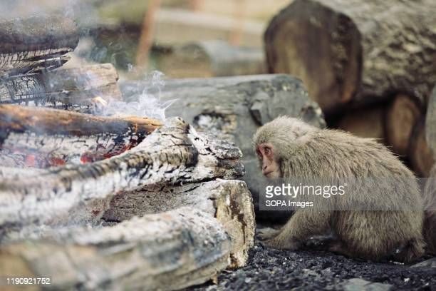 Japanese Yaku macaque monkey next to a bonfire to keep itself warm at Japan Monkey Center in Inuyama