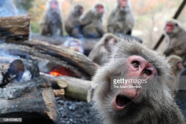 A Japanese Yaku macaque monkey ramps a photographer while they keep warm by a bonfire at the Japan Monkey Centre on December 19 2018 in Inuyama Aichi...