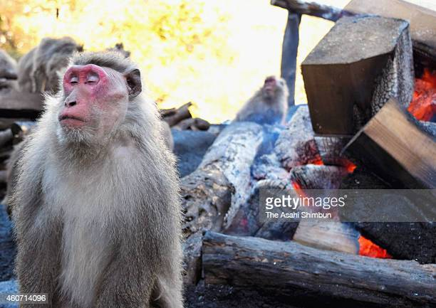 A Japanese Yaku macaque monkey relaxes by bonfire to keep warm at Japan Monkey Cenre on December 19 2014 in Inuyama Aichi Japan The annual event...