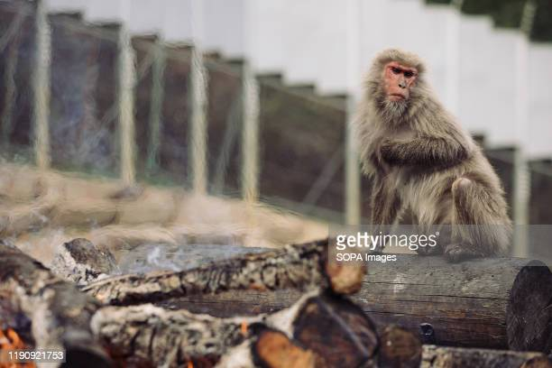 Japanese Yaku macaque monkey sits next to a bonfire to keep itself warm at Japan Monkey Center in Inuyama