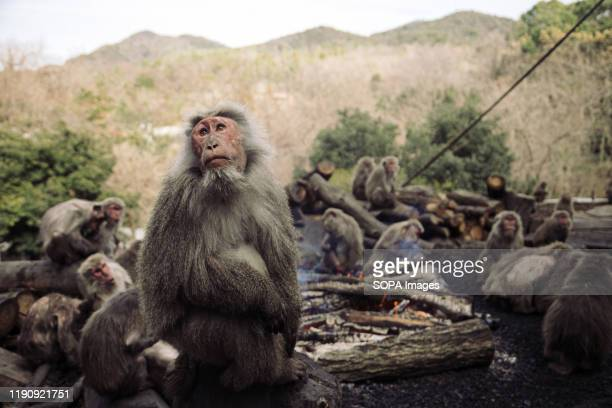 Japanese Yaku macaque monkeys sit around a bonfire to keep themselves warm at Japan Monkey Center in Inuyama