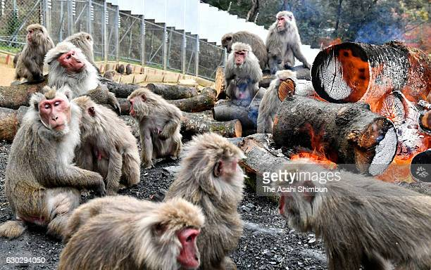 Japanese Yaku macaque monkeys warm themselves by bonfire to keep warm at Japan Monkey Cenre on December 20 2016 in Inuyama Aichi Japan The annual...