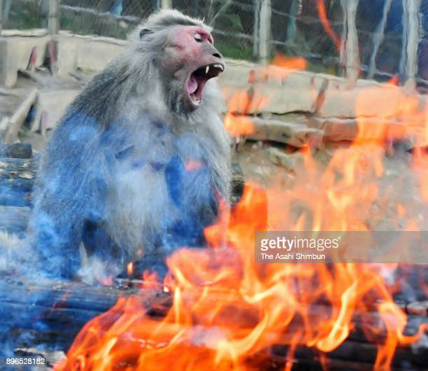 Japanese Yaku macaque monkeys warm themselves by bonfire to keep warm at Japan Monkey Center on December 21 2017 in Inuyama Aichi Japan