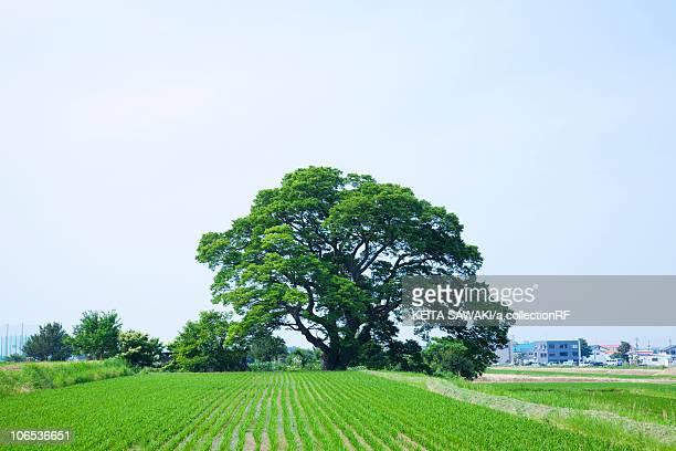 Japanese zelkova tree, Niigata Prefecture, Honshu, Japan